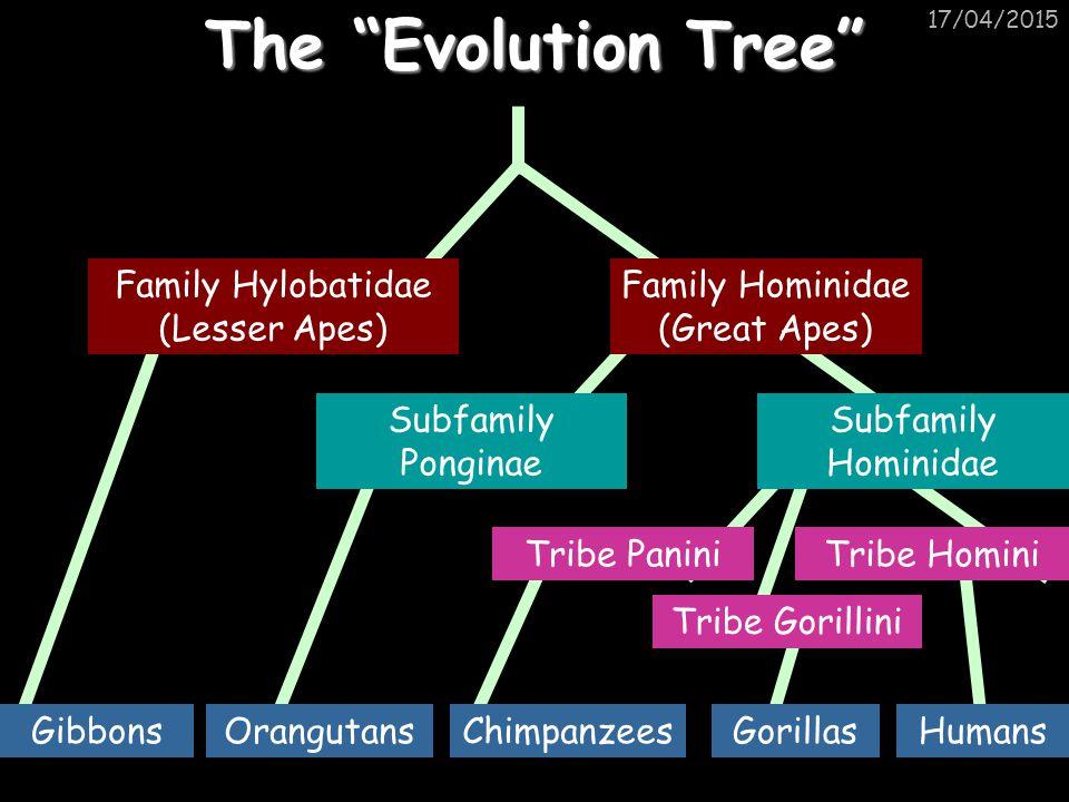 """17/04/2015 The """"Evolution Tree"""" Family Hominidae (Great Apes) Family Hylobatidae (Lesser Apes) Subfamily Hominidae Subfamily Ponginae Tribe HominiTrib"""