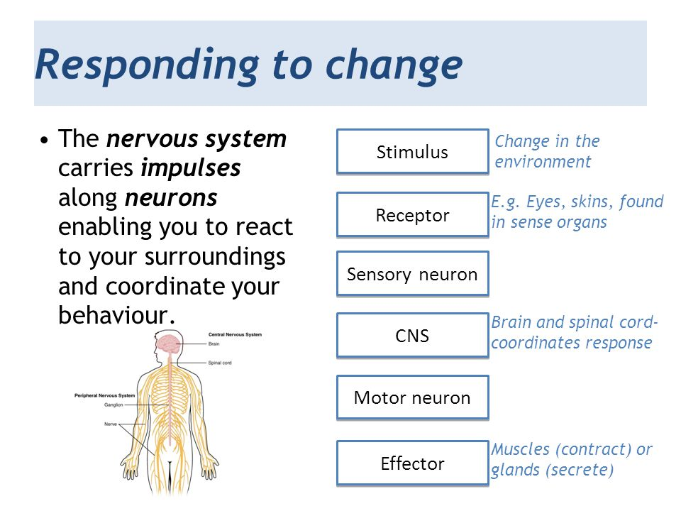 Responding to change The nervous system carries impulses along neurons enabling you to react to your surroundings and coordinate your behaviour. Stimu
