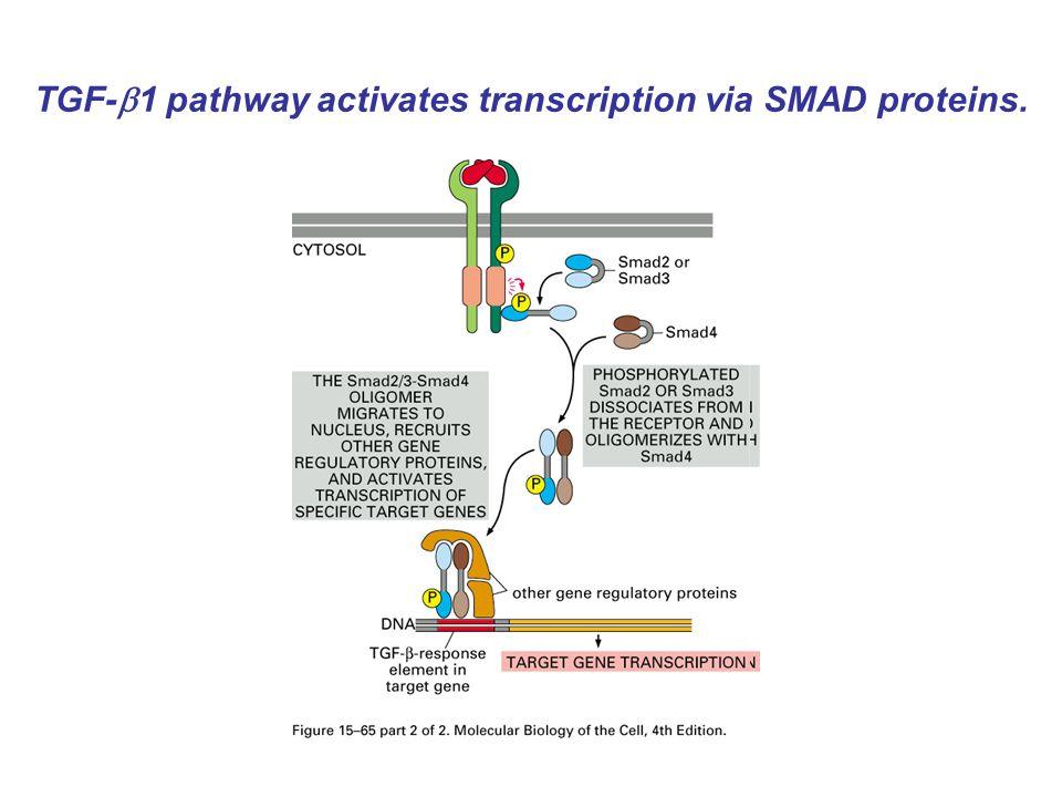 TGF-  1 pathway activates transcription via SMAD proteins.