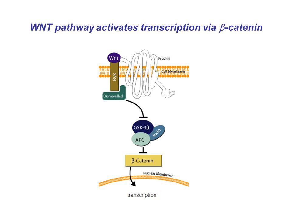 WNT pathway activates transcription via  -catenin