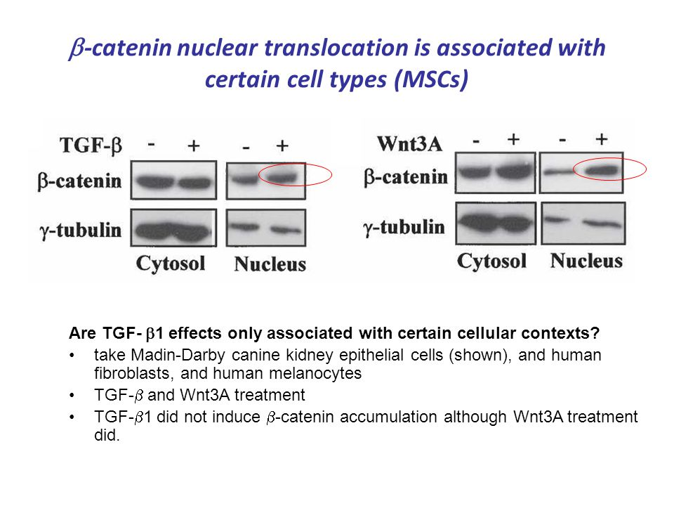  -catenin nuclear translocation is associated with certain cell types (MSCs) Are TGF-  1 effects only associated with certain cellular contexts? tak