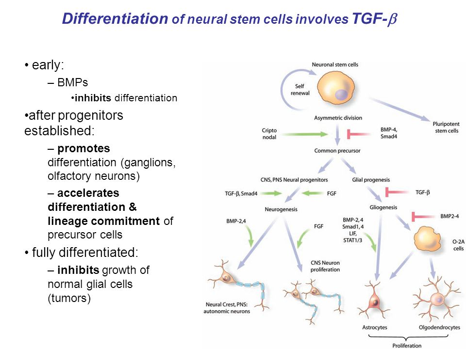 Differentiation of neural stem cells involves TGF-  early: – BMPs inhibits differentiation after progenitors established: – promotes differentiation