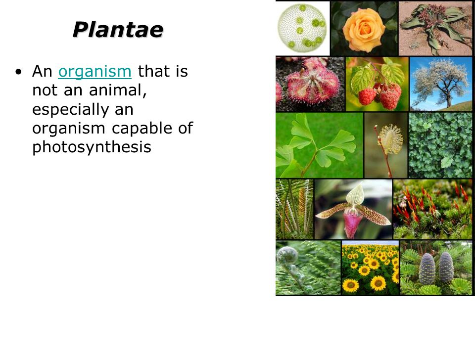Plantae An organism that is not an animal, especially an organism capable of photosynthesisorganism