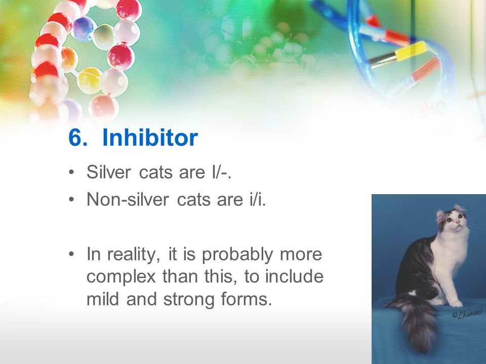 6. Inhibitor Silver cats are I/-. Non-silver cats are i/i.