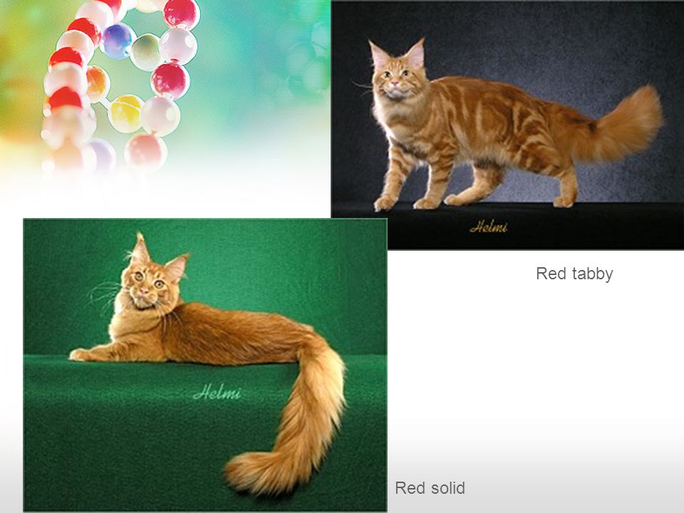 Red solid Red tabby