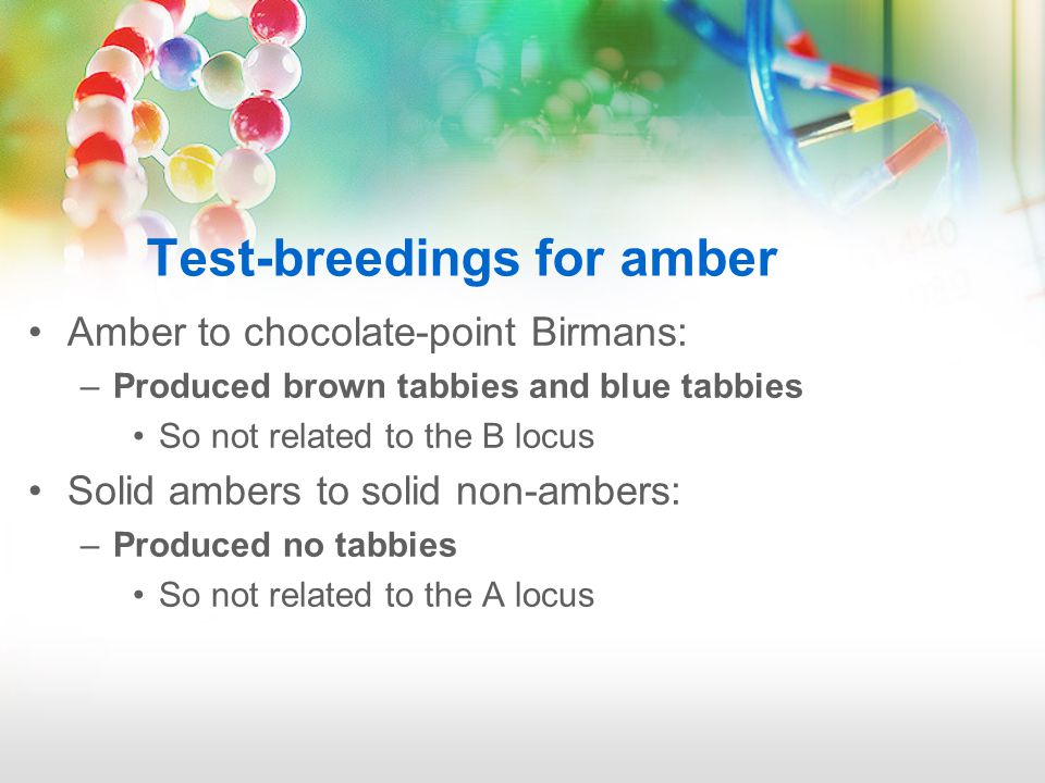 Amber to chocolate-point Birmans: –Produced brown tabbies and blue tabbies So not related to the B locus Solid ambers to solid non-ambers: –Produced no tabbies So not related to the A locus Test-breedings for amber