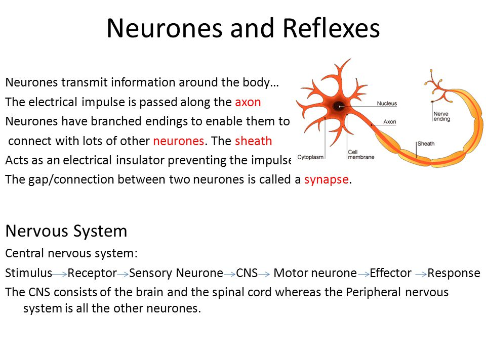 Neurones and Reflexes Neurones transmit information around the body… The electrical impulse is passed along the axon Neurones have branched endings to