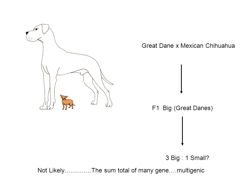 Great Dane x Mexican Chihuahua F1 Big (Great Danes) 3 Big : 1 Small.