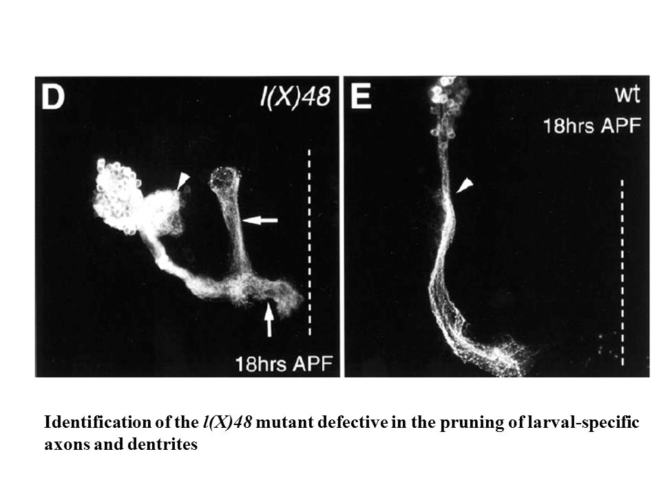 Identification of the l(X)48 mutant defective in the pruning of larval-specific axons and dentrites