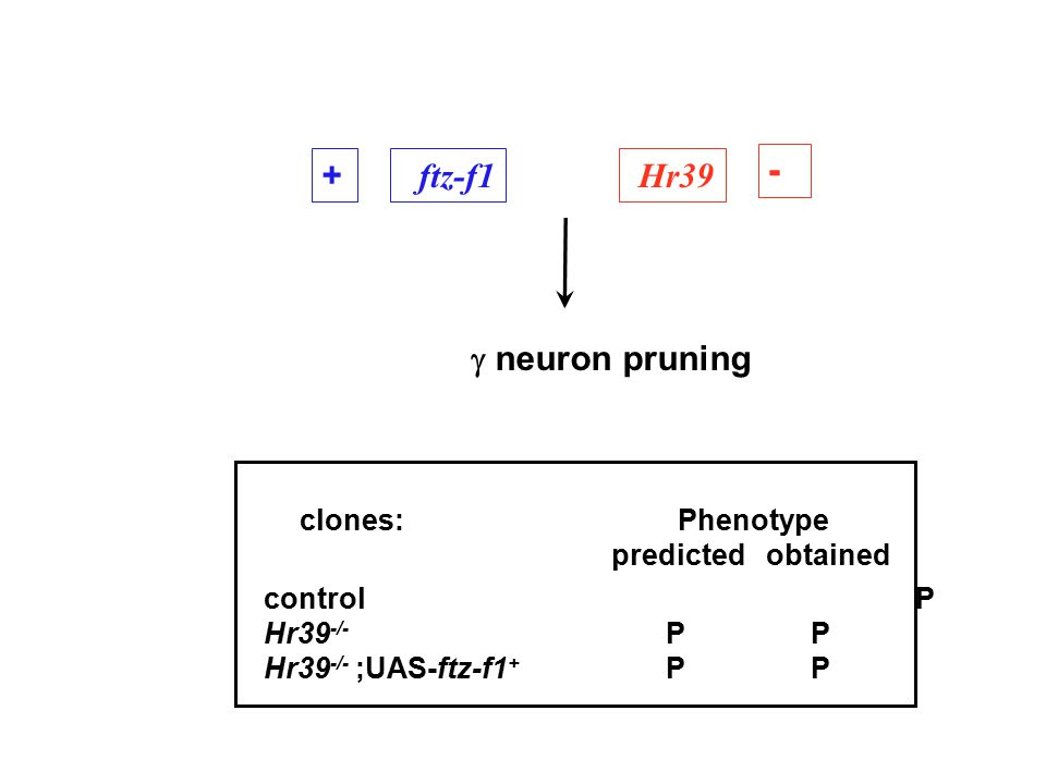  neuron pruning + ftz-f1 - Hr39 control P Hr39 -/- P P Hr39 -/- ;UAS-ftz-f1 + P P clones: Phenotype predicted obtained