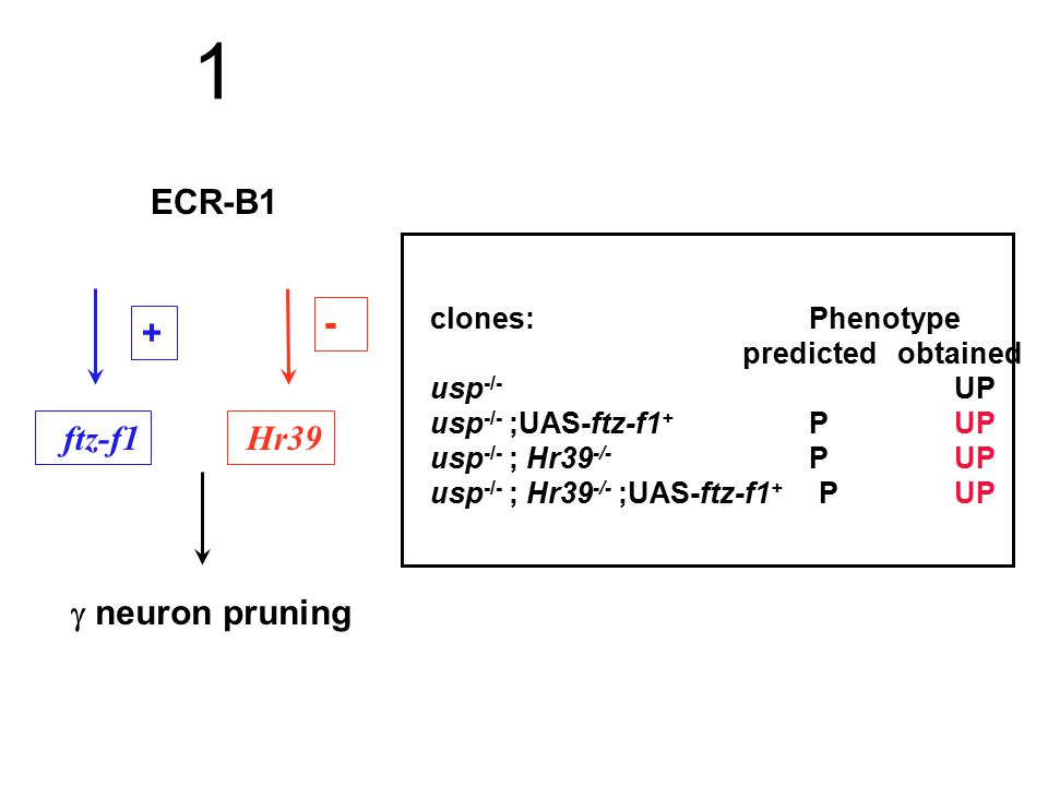 ECR-B1  neuron pruning + ftz-f1 1 - Hr39 clones: Phenotype predicted obtained usp -/- UP usp -/- ;UAS-ftz-f1 + PUP usp -/- ; Hr39 -/- PUP usp -/- ; H