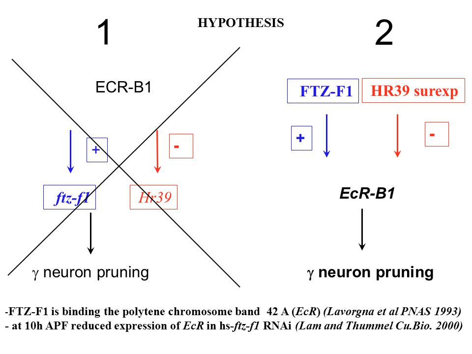 ECR-B1  neuron pruning + ftz-f1 - FTZ-F1 is binding the polytene chromosome band 42 A (EcR) (Lavorgna et al PNAS 1993) - at 10h APF reduced expressio