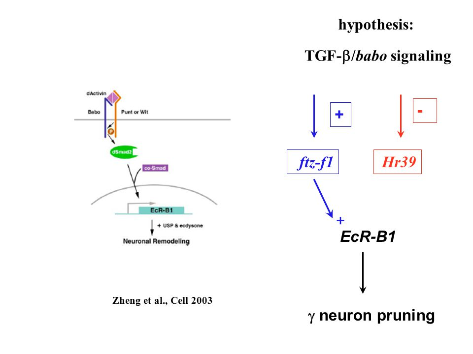 Zheng et al., Cell 2003  neuron pruning + ftz-f1 - Hr39 TGF-  /babo signaling EcR-B1 hypothesis: +