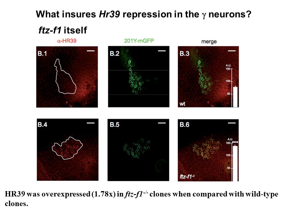 What insures Hr39 repression in the  neurons? ftz-f1 itself HR39 was overexpressed (1.78x) in ftz-f1 -/- clones when compared with wild-type clones.