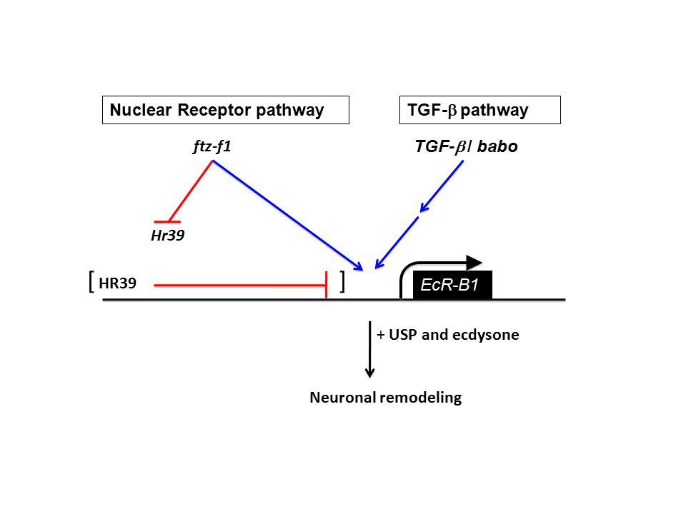 Nuclear Receptor pathway TGF-  pathway ftz-f1 TGF-  / babo EcR-B1 Hr39 HR39 + USP and ecdysone Neuronal remodeling []