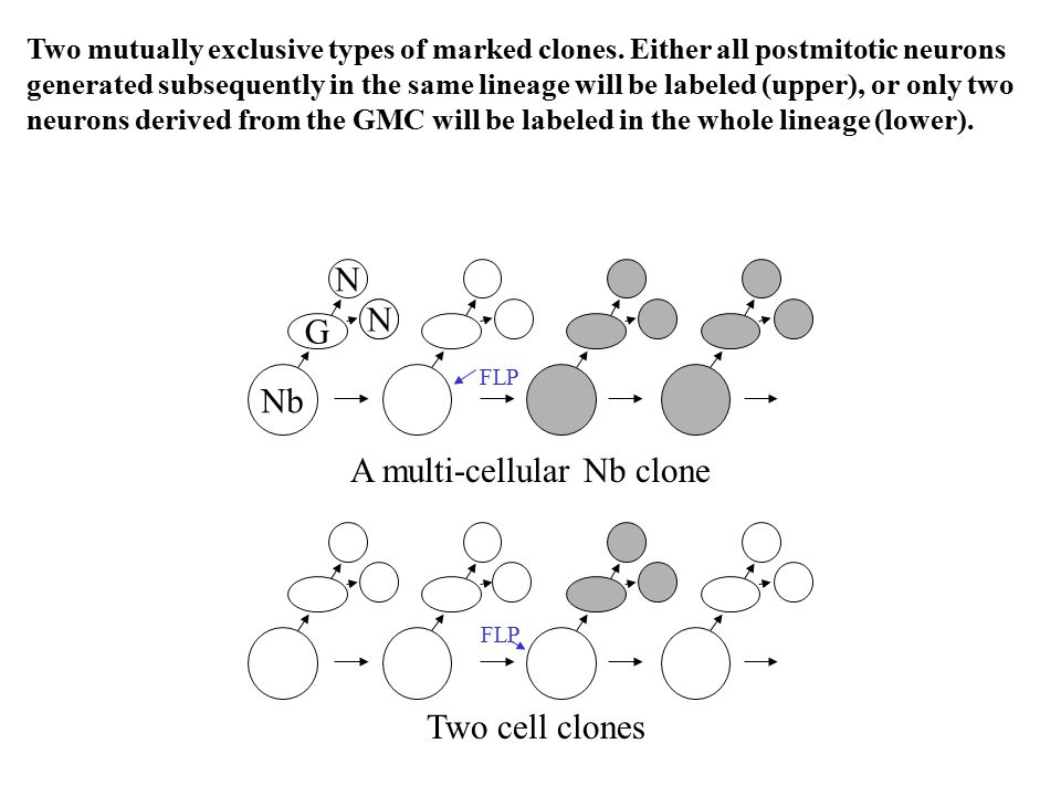 Nb G N N FLP A multi-cellular Nb clone Two cell clones FLP Two mutually exclusive types of marked clones. Either all postmitotic neurons generated sub