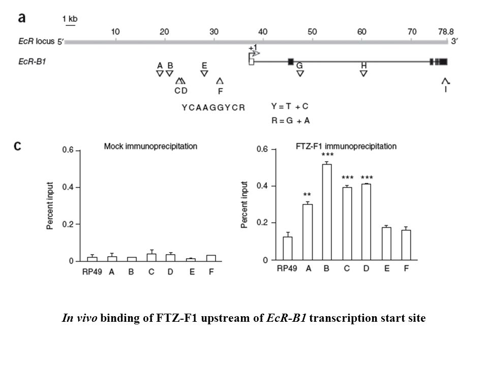 In vivo binding of FTZ-F1 upstream of EcR-B1 transcription start site