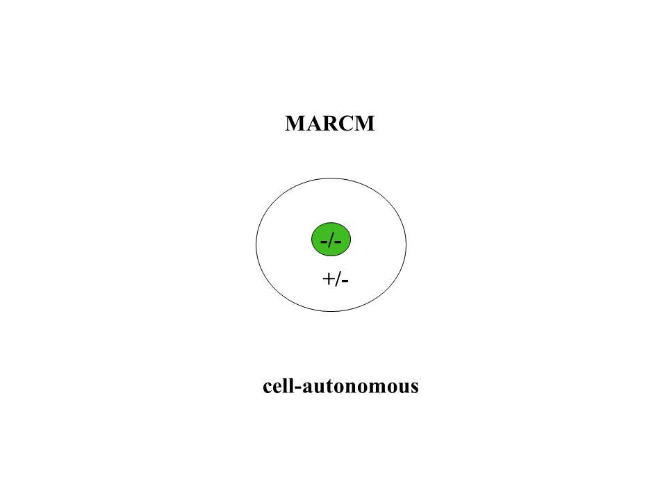 -/- +/- cell-autonomous MARCM