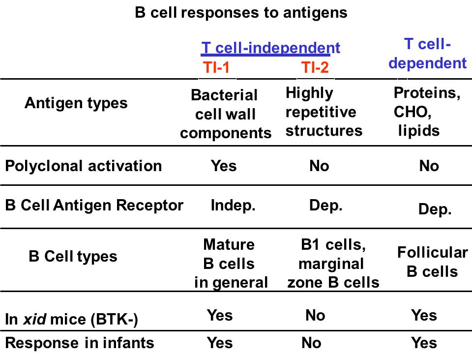 Response in infants Polyclonal activation B Cell types B cell responses to antigens In xid mice (BTK-) Antigen types B Cell Antigen Receptor TI-2TI-1 Mature B cells in general B1 cells, marginal zone B cells YesNo YesNo Yes Bacterial cell wall components Highly repetitive structures Indep.Dep.