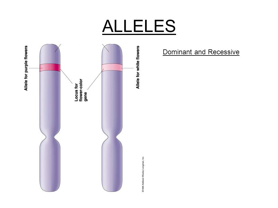 ALLELES Dominant and Recessive