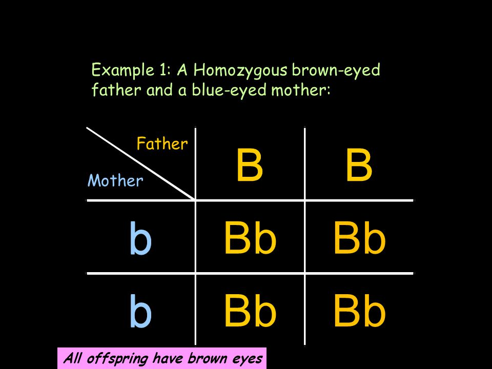 BB b b Another method Example 1: A Homozygous brown-eyed father and a blue-eyed mother: BB bBb b Father Mother All offspring have brown eyes