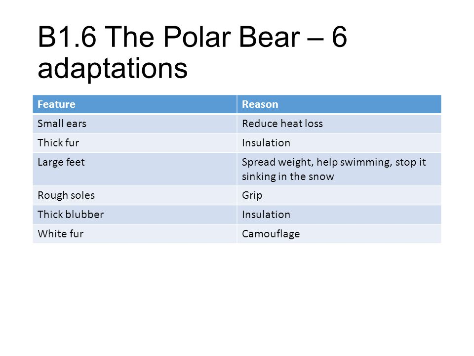 B1.6 The Polar Bear – 6 adaptations FeatureReason Small earsReduce heat loss Thick furInsulation Large feetSpread weight, help swimming, stop it sinki