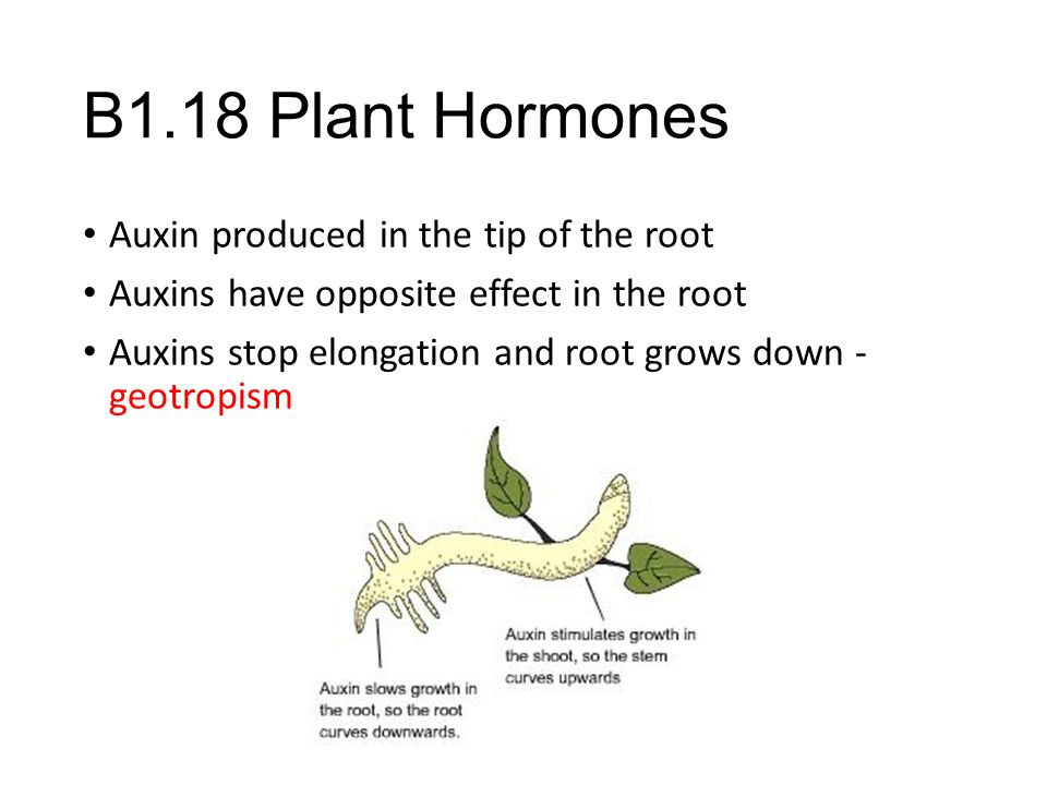 B1.18 Plant Hormones Auxin produced in the tip of the root Auxins have opposite effect in the root Auxins stop elongation and root grows down - geotro