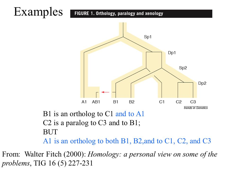 Examples B1 is an ortholog to C1 and to A1 C2 is a paralog to C3 and to B1; BUT A1 is an ortholog to both B1, B2,and to C1, C2, and C3 From: Walter Fitch (2000): Homology: a personal view on some of the problems, TIG 16 (5) 227-231