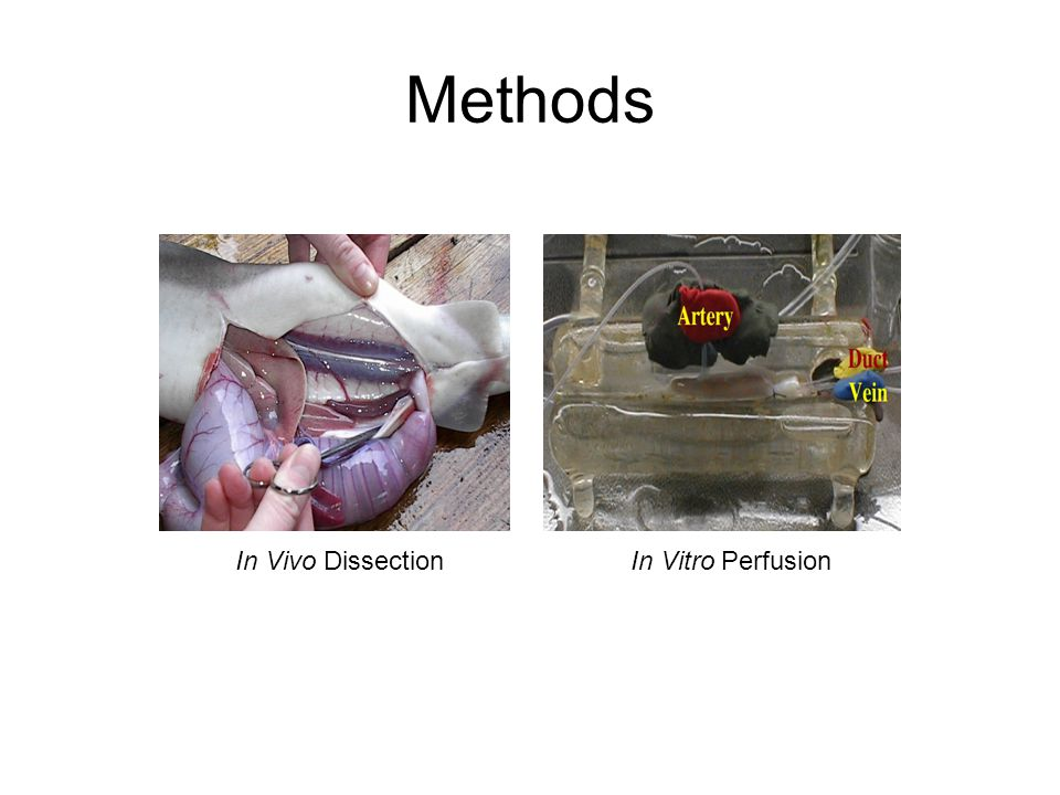 In Vivo Dissection In Vitro Perfusion Methods
