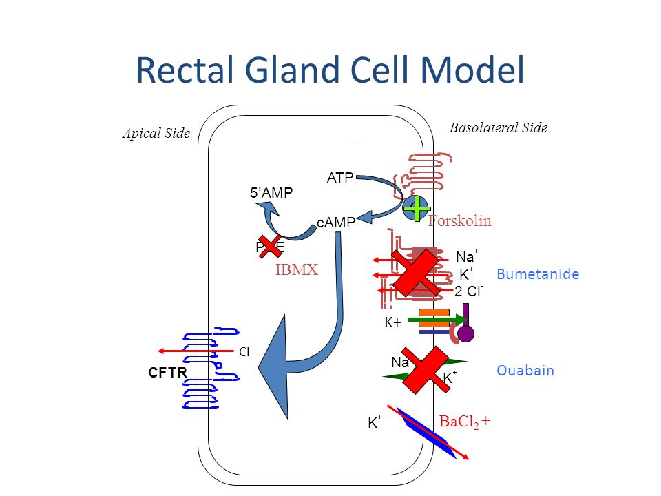 Rectal Gland Cell Model K+K+ Na + Basolateral Side Apical Side Na + K+K+ 2 Cl - CFTR Cl- K+K+ BaCl 2 + cAMP 5'AMP C ATP PDE IBMX Forskolin K+ Bumetanide Ouabain