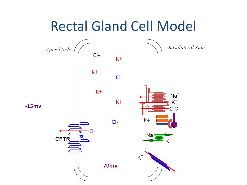 Rectal Gland Cell Model K+K+ Na + Basolateral Side Apical Side Na + K+K+ 2 Cl - CFTR Cl- K+K+ K+ Cl- -70mv -15mv