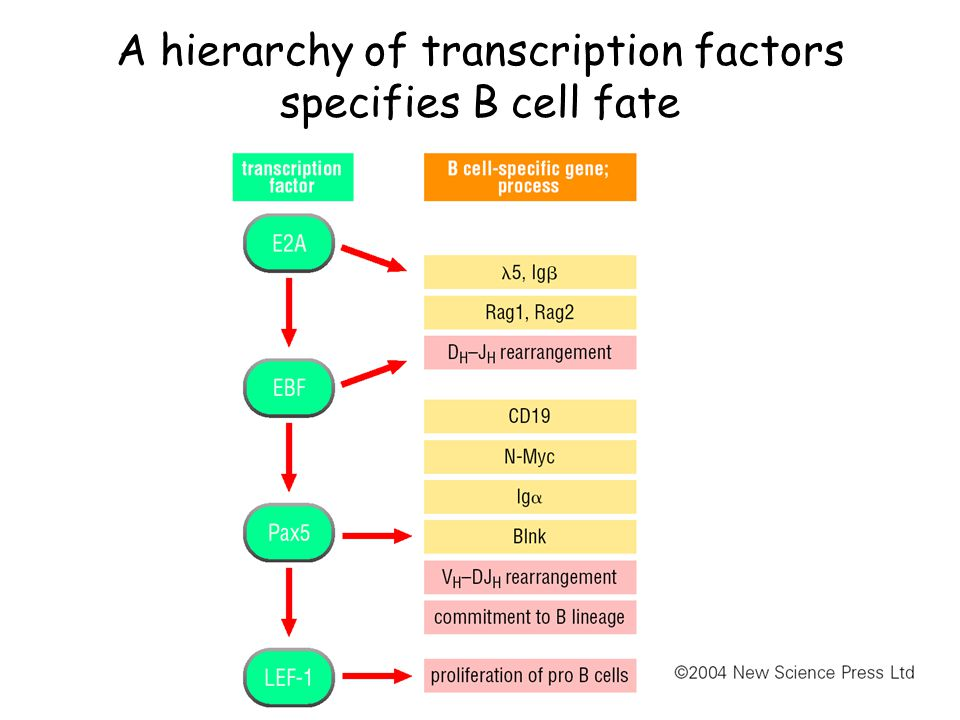 A hierarchy of transcription factors specifies B cell fate