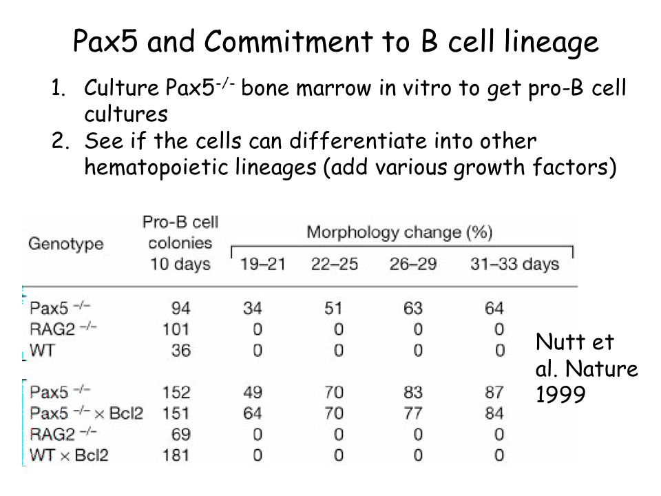 Pax5 and Commitment to B cell lineage 1.Culture Pax5 -/- bone marrow in vitro to get pro-B cell cultures 2.See if the cells can differentiate into other hematopoietic lineages (add various growth factors) Nutt et al.