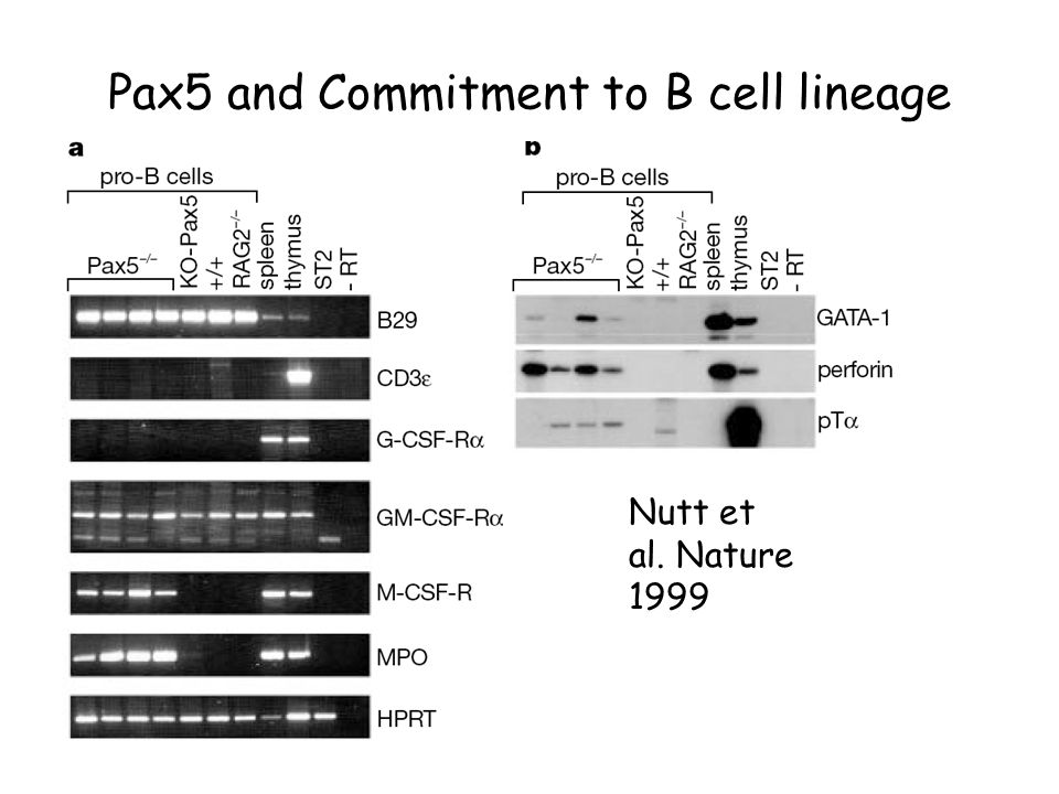Pax5 and Commitment to B cell lineage Nutt et al. Nature 1999