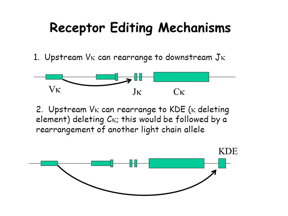 Receptor Editing Mechanisms 1. Upstream V  can rearrange to downstream J  2.