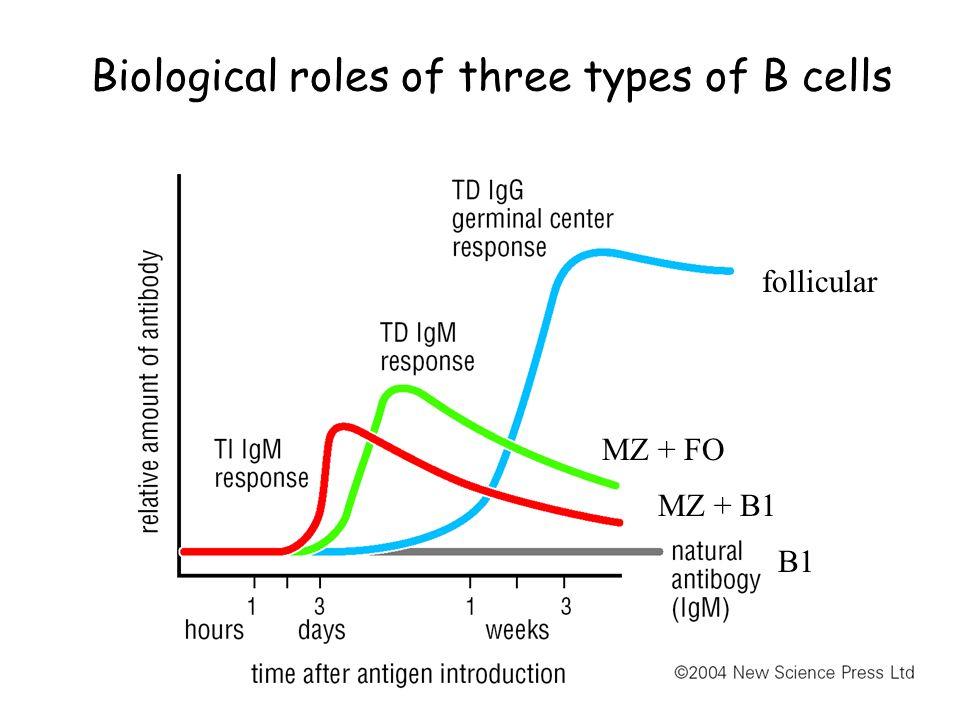 Biological roles of three types of B cells B1 follicular MZ + B1 MZ + FO