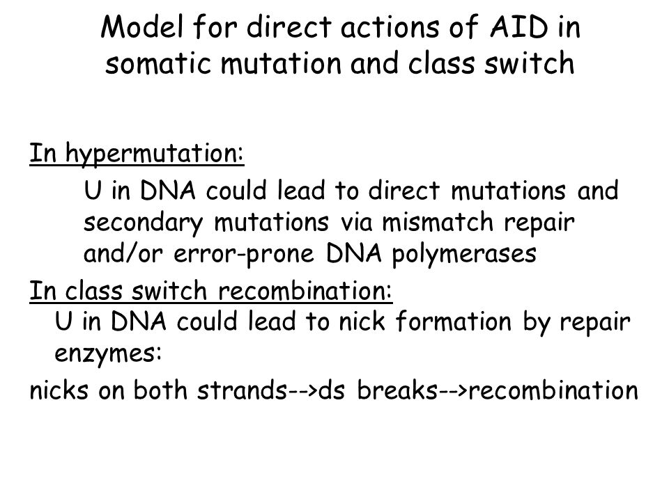 In hypermutation: U in DNA could lead to direct mutations and secondary mutations via mismatch repair and/or error-prone DNA polymerases In class switch recombination: U in DNA could lead to nick formation by repair enzymes: nicks on both strands-->ds breaks-->recombination Model for direct actions of AID in somatic mutation and class switch