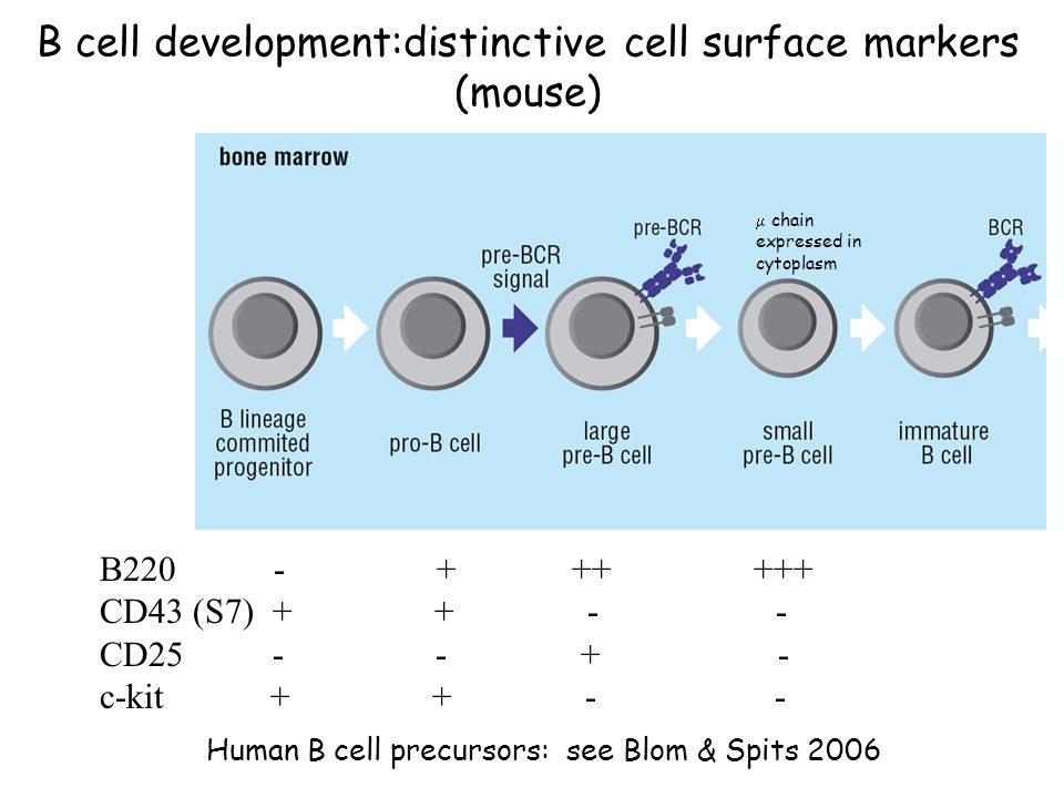 B cell development:distinctive cell surface markers (mouse) B220 - + ++ +++ CD43 (S7) + + - - CD25 - - + - c-kit + + - - Human B cell precursors: see Blom & Spits 2006  chain expressed in cytoplasm