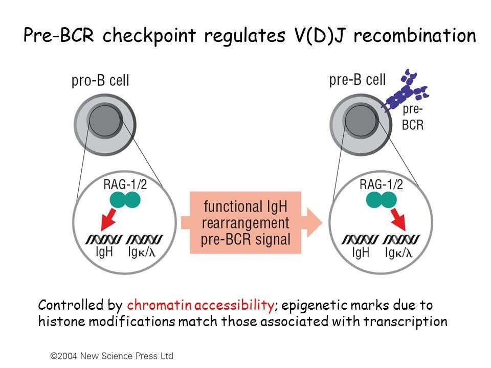 Theme 5: 3 types of mature B cells B1, marginal zone, and follicular B cells