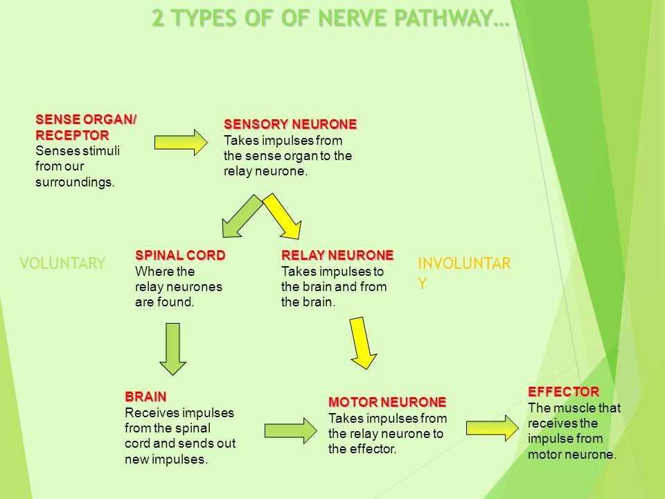 2 TYPES OF OF NERVE PATHWAY… SENSORY NEURONE Takes impulses from the sense organ to the relay neurone.
