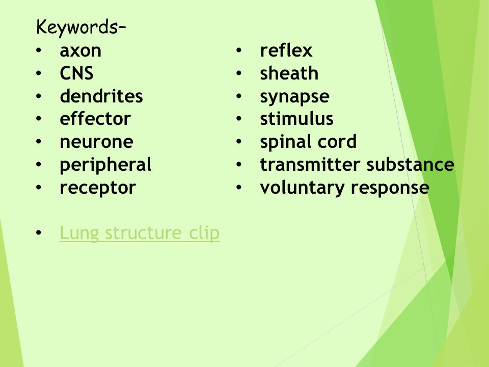 Keywords– axon CNS dendrites effector neurone peripheral receptor Lung structure clip reflex sheath synapse stimulus spinal cord transmitter substance voluntary response