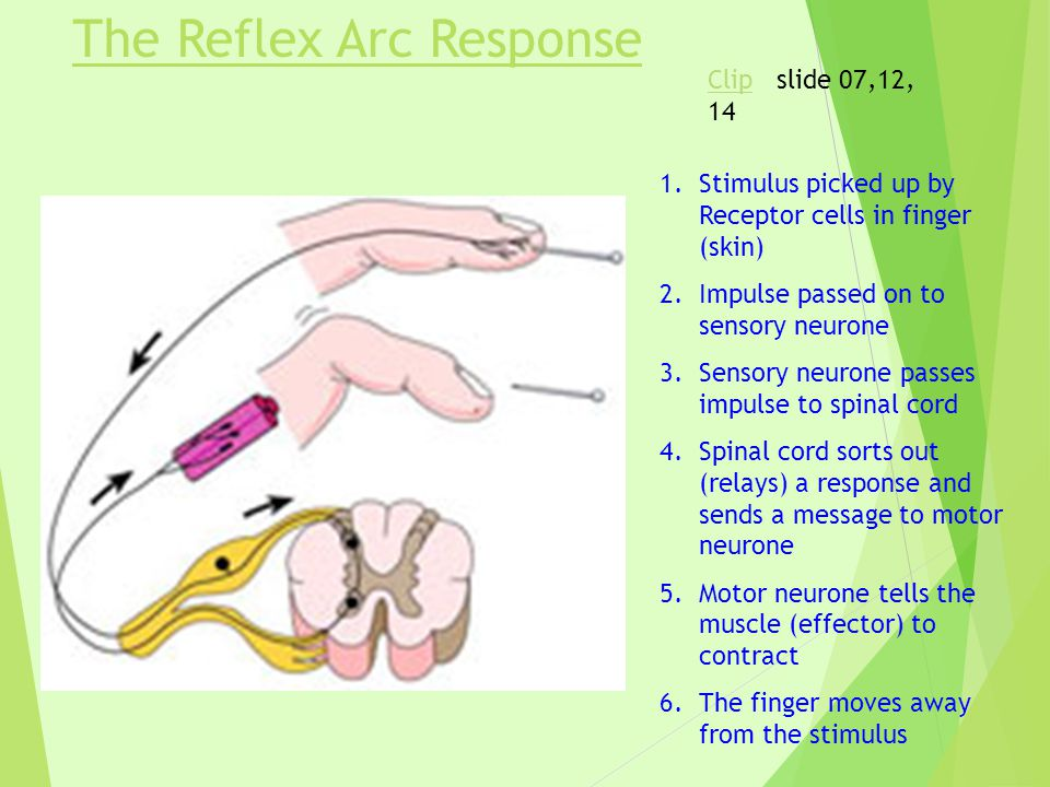 The Reflex Arc Response 1.Stimulus picked up by Receptor cells in finger (skin) 2.Impulse passed on to sensory neurone 3.Sensory neurone passes impulse to spinal cord 4.Spinal cord sorts out (relays) a response and sends a message to motor neurone 5.Motor neurone tells the muscle (effector) to contract 6.The finger moves away from the stimulus ClipClip slide 07,12, 14