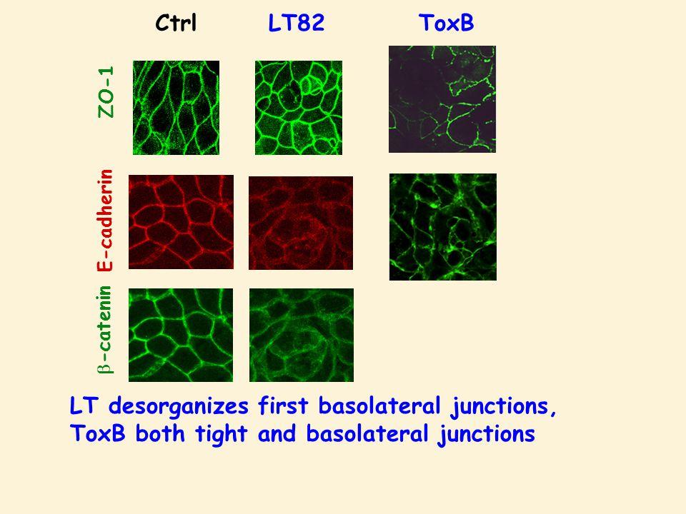 LT82Ctrl E-cadherin  -catenin ZO-1 ToxB LT desorganizes first basolateral junctions, ToxB both tight and basolateral junctions