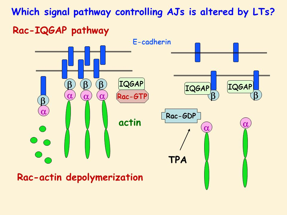         E-cadherin IQGAP Rac-GTP IQGAP Rac-GDP TPA Which signal pathway controlling AJs is altered by LTs? actin Rac-IQGAP pathway   Rac-a