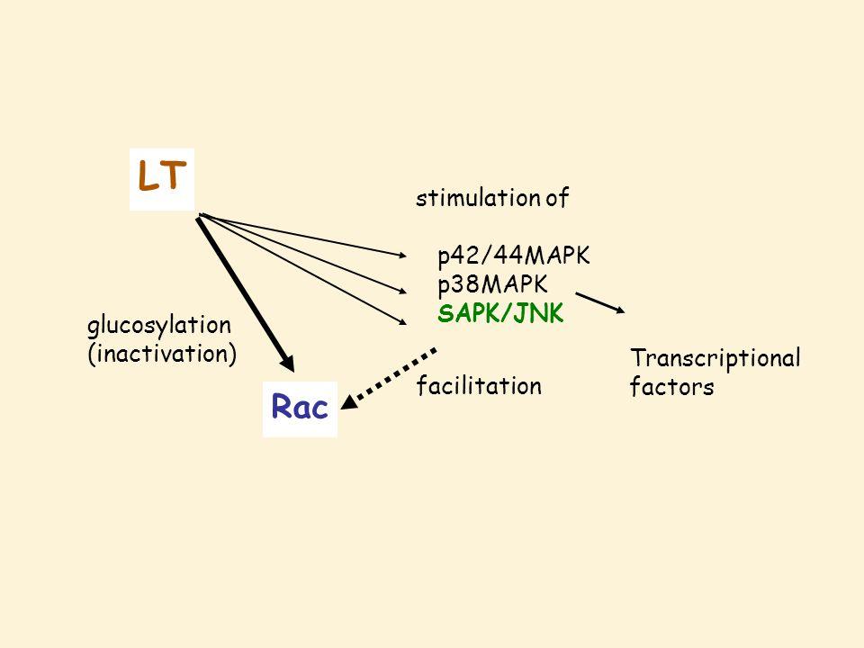 Rac LT glucosylation (inactivation) stimulation of p42/44MAPK p38MAPK SAPK/JNK facilitation Transcriptional factors