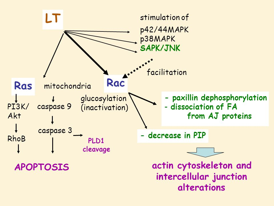 LT mitochondria Ras APOPTOSIS caspase 9 caspase 3 PLD1 cleavage Rac glucosylation (inactivation) - paxillin dephosphorylation - dissociation of FA fro