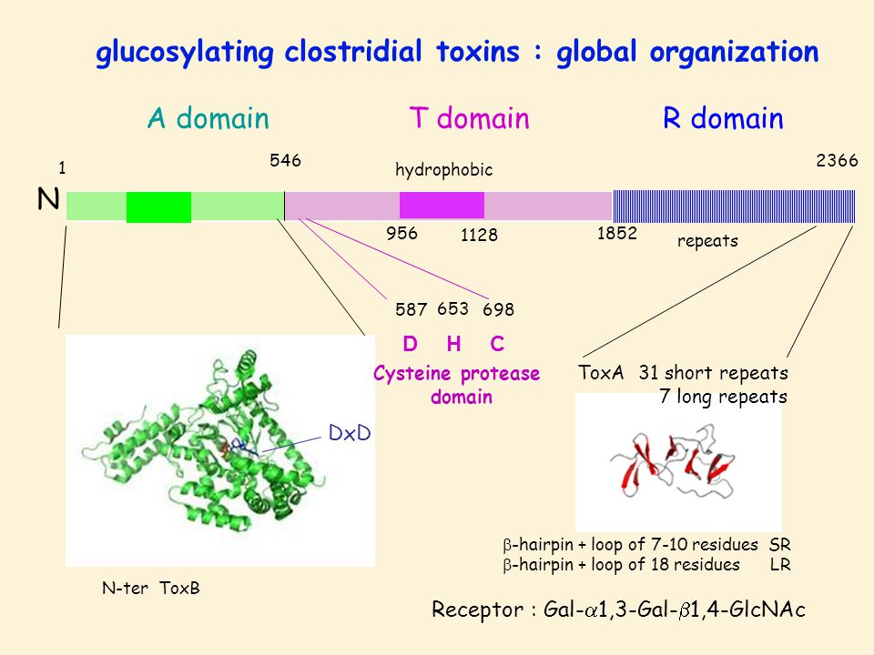 N 5462366 repeats hydrophobic 1 956 1128 1852 A domainT domainR domain glucosylating clostridial toxins : global organization N-ter ToxB ToxA 31 short repeats 7 long repeats  -hairpin + loop of 7-10 residues SR  -hairpin + loop of 18 residues LR Receptor : Gal-  1,3-Gal-  1,4-GlcNAc C 698 653 HD 587 Cysteine protease domain DxD