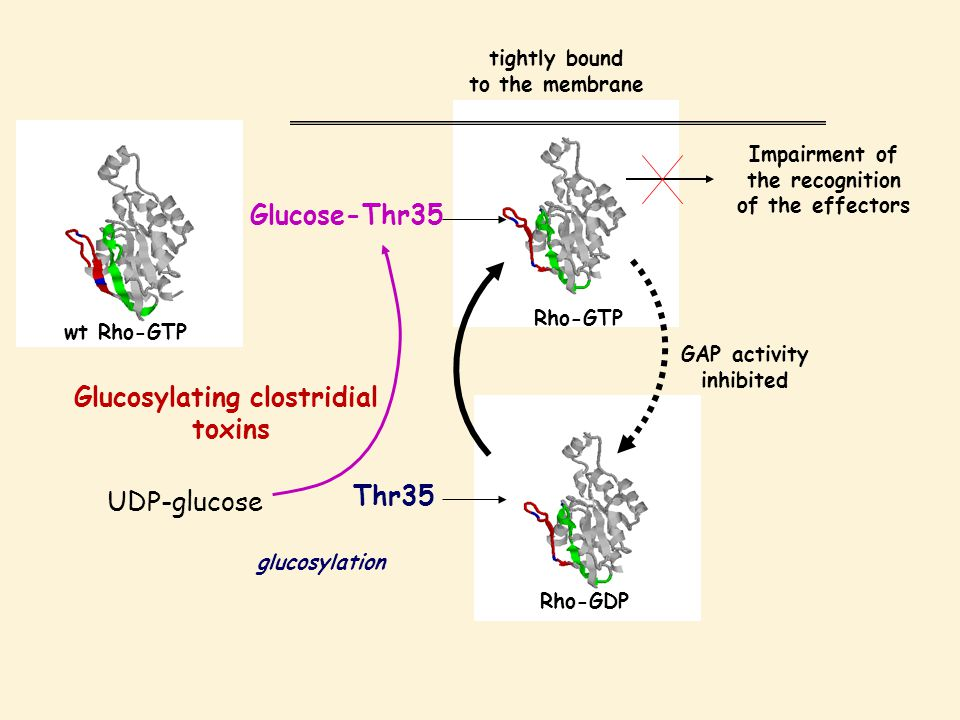 Rho-GTP Glucose-Thr35 tightly bound to the membrane Rho-GDP Thr35 Glucosylating clostridial toxins glucosylation Impairment of the recognition of the effectors GAP activity inhibited wt Rho-GTP UDP-glucose