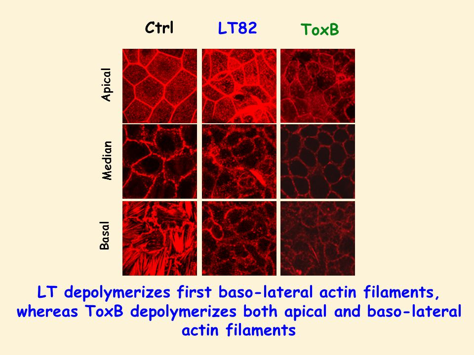 Ctrl Apical Median Basal LT82 ToxB LT depolymerizes first baso-lateral actin filaments, whereas ToxB depolymerizes both apical and baso-lateral actin