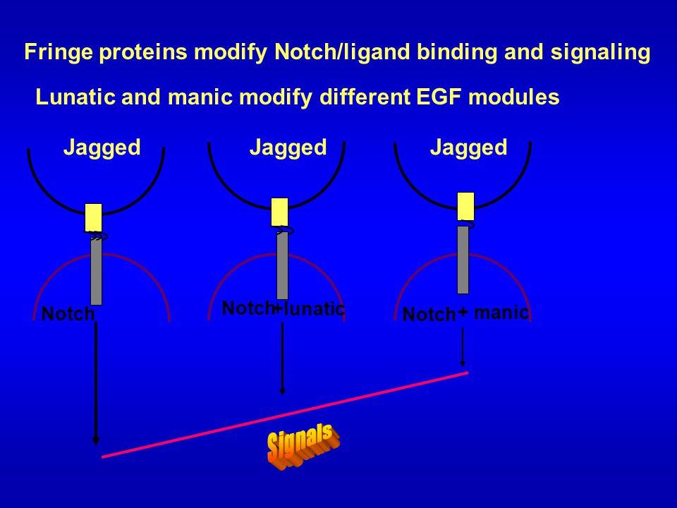 Jagged Notch + manic +lunatic Fringe proteins modify Notch/ligand binding and signaling Lunatic and manic modify different EGF modules